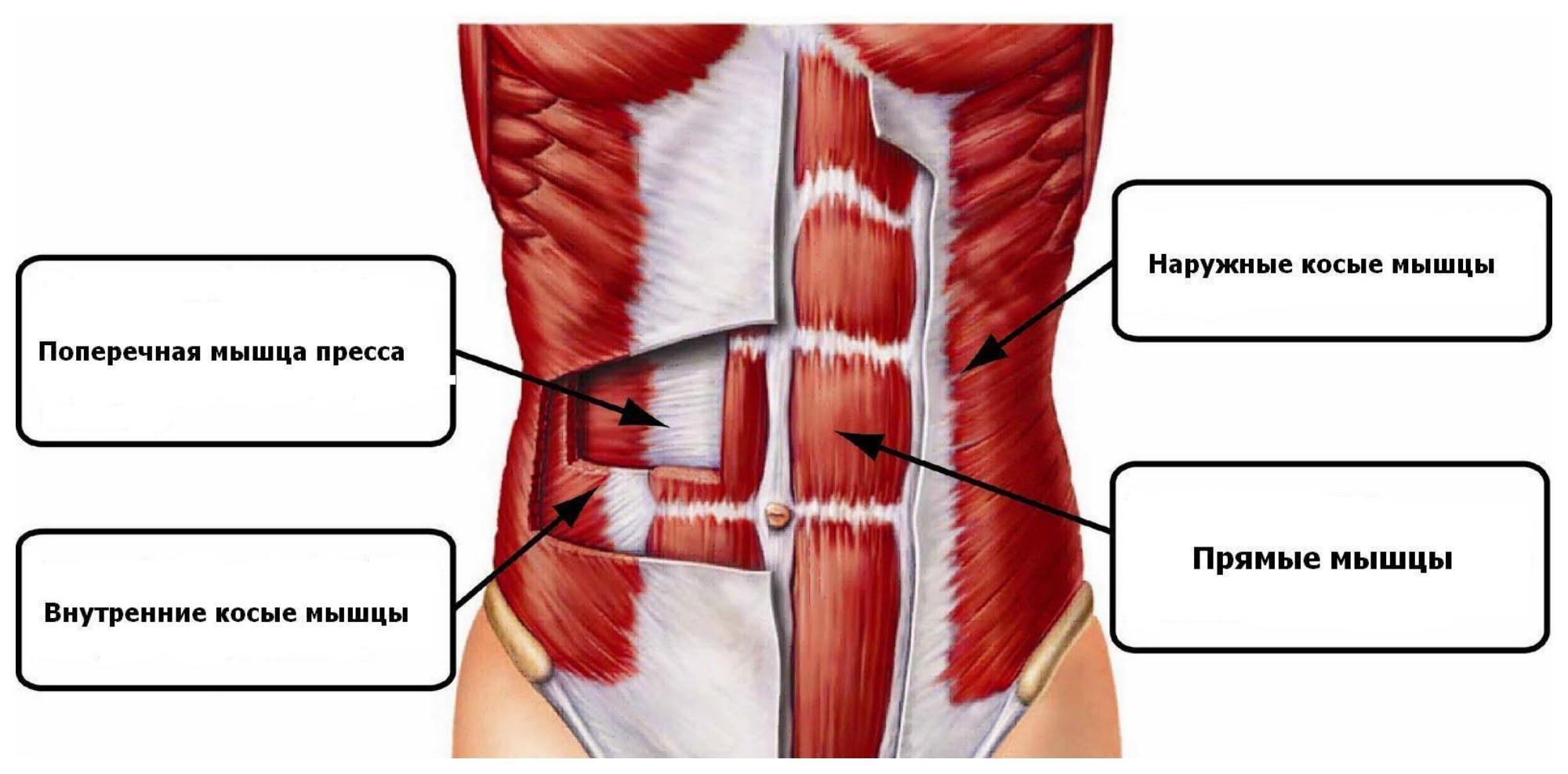 мышцы косые узкая талия