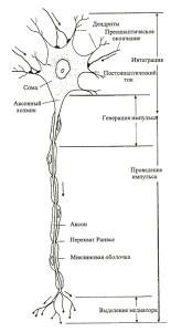 нейромышечная связь